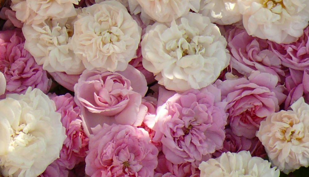 Historische Rosen - Duftrosen