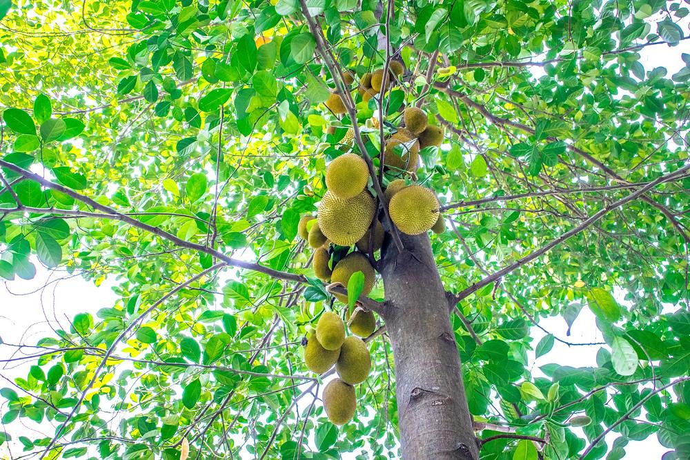 jaca, jackfruit