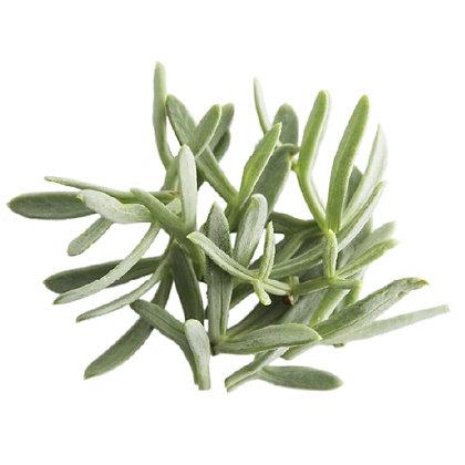 funcho-do-mar, plantas halófitas, riafresh