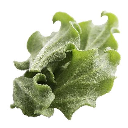 alface glacial, plantas halófitas, riafresh