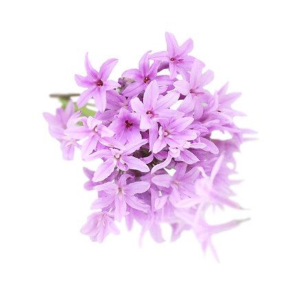 FLOR DE ALHO, ALHO SOCIAL, GARLIC FLOWERS