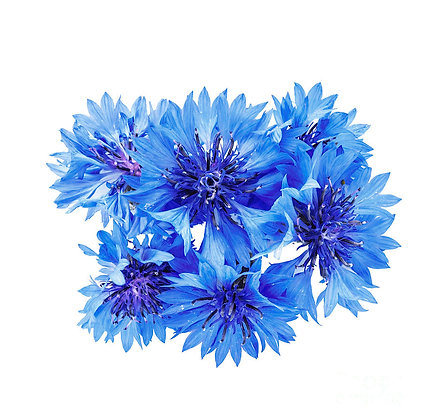 FLORES DE MILHO, CORNFLOWERS, EDIBLE FLOWERS, FLORES COMESTIBLES, FLORES COMESTÍVEIS