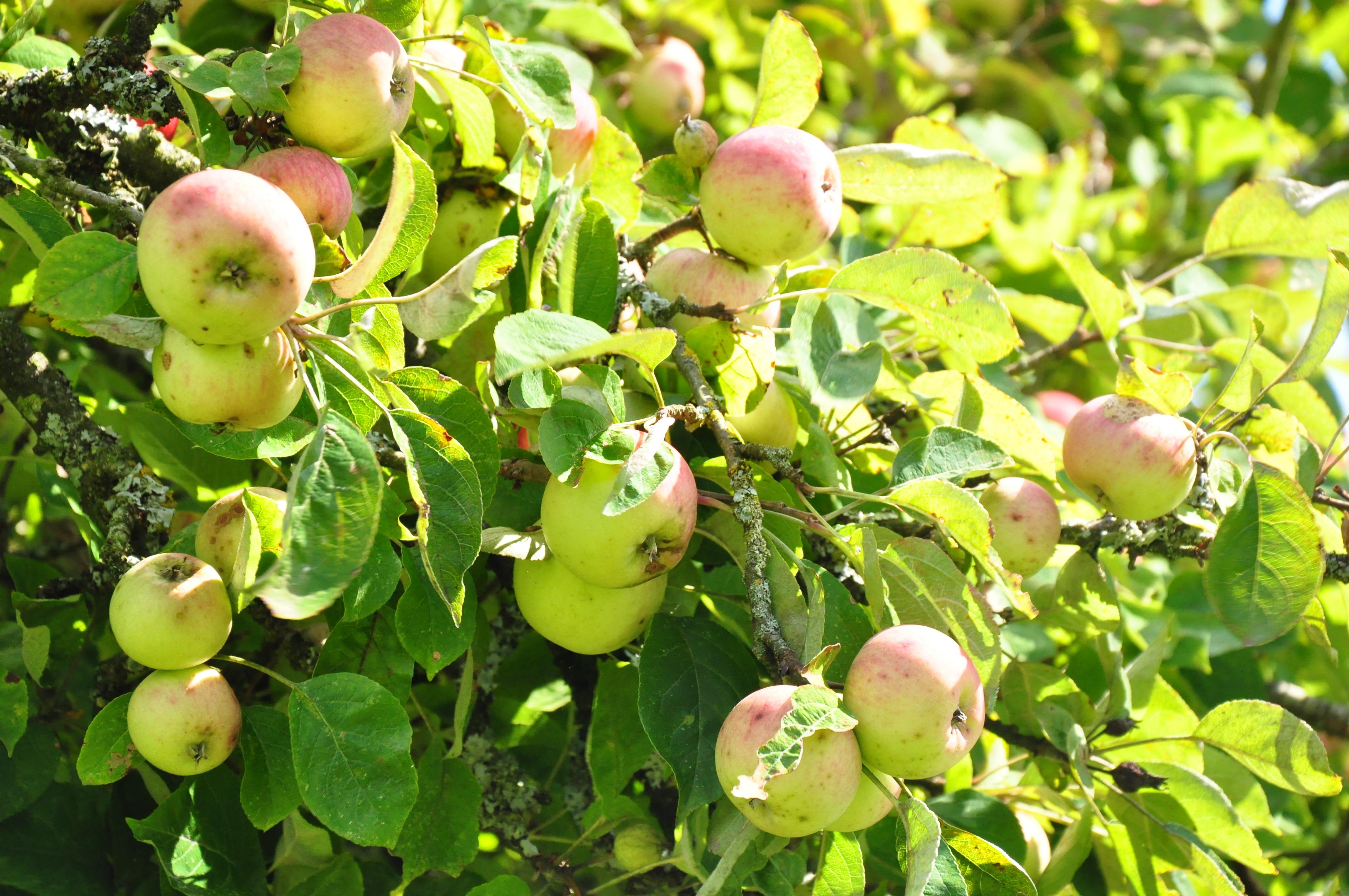 La Herpinière Normandy Gite apples