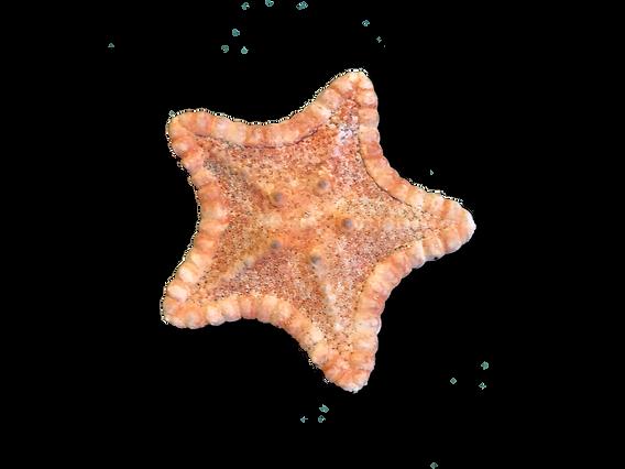 stella marina.png