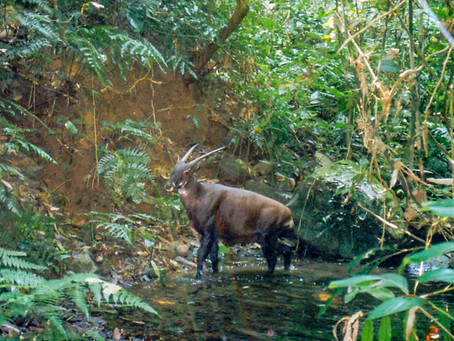 Why I believe in Saola conservation