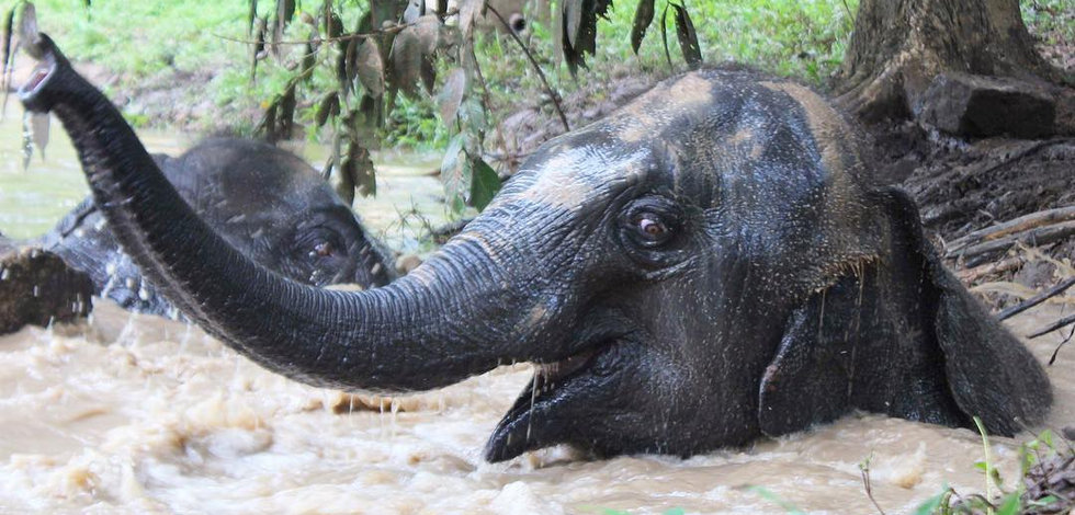 Female Asian Elephant in water