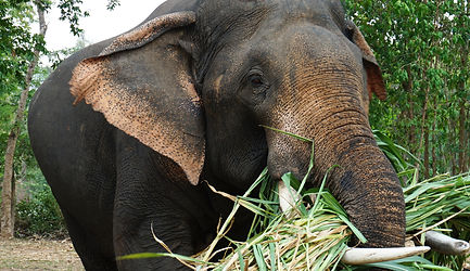 Sappraiwan's Boonmee Our Gentle Giant