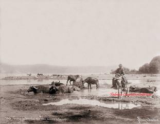 Groupe de boeufs aux eaux douces d'Europe 748. 1895