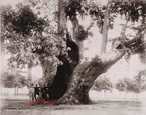 L'arbre des Jannissaires 187. 1890s