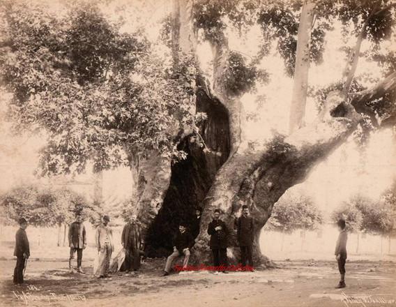 L'arbre des Jannissaires 184. 1890s