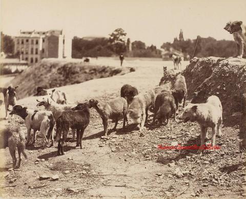 Les chiens de Constantinople 322. 1890s