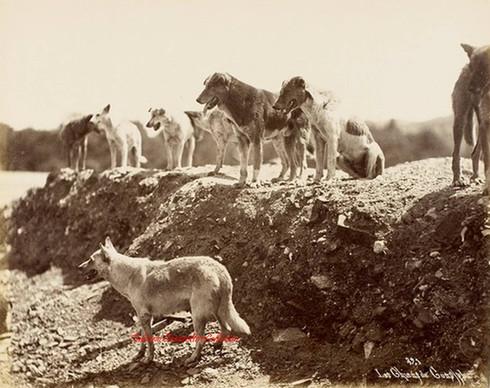 Les chiens de Constantinople 321. 1890s