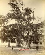 L'arbre des Jannissaires 189. 1890s