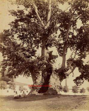 L'arbre des Jannissaires 198. 1890s