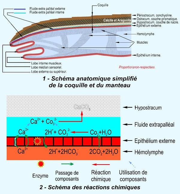 anatomie huitre 02.jpg