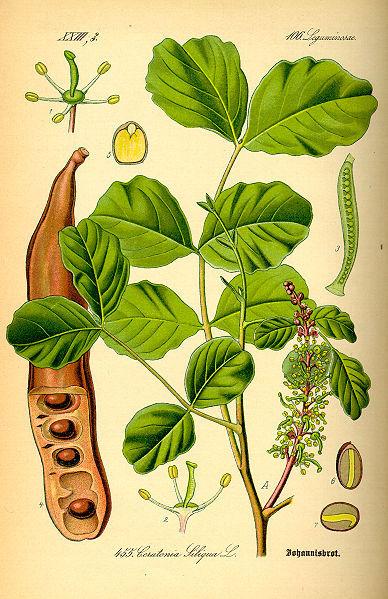 Ceratonia siliqua, caroubier.