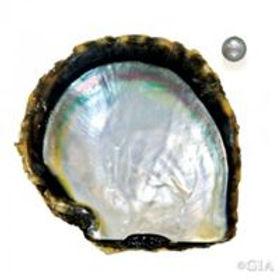 Tahitienne (Pinctada margaritifera).jpg