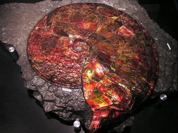 Ammonite ammolitisée