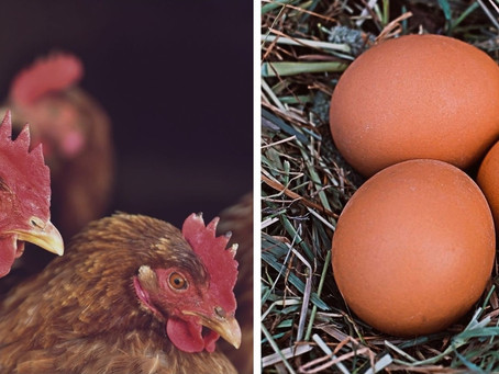 7 Tips to help your chickens lay more eggs