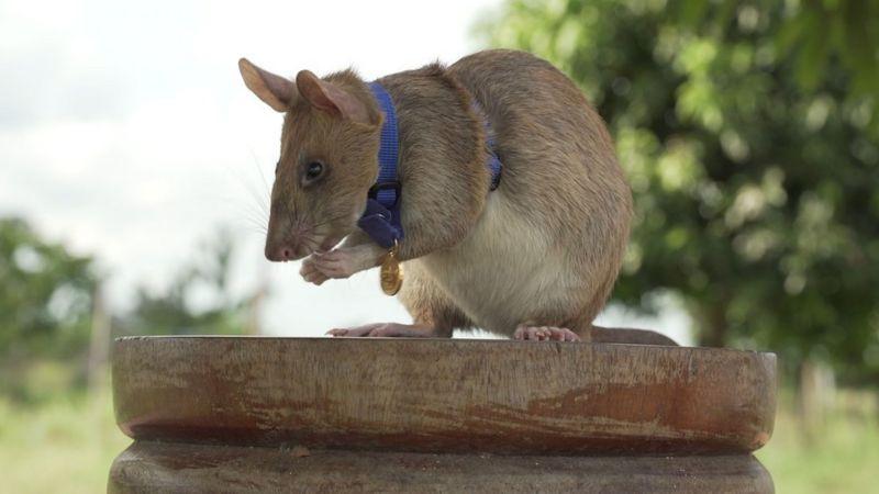 10 номинант - Гигантская африканская сумчатая крыса Магава (КАМБОДЖА)