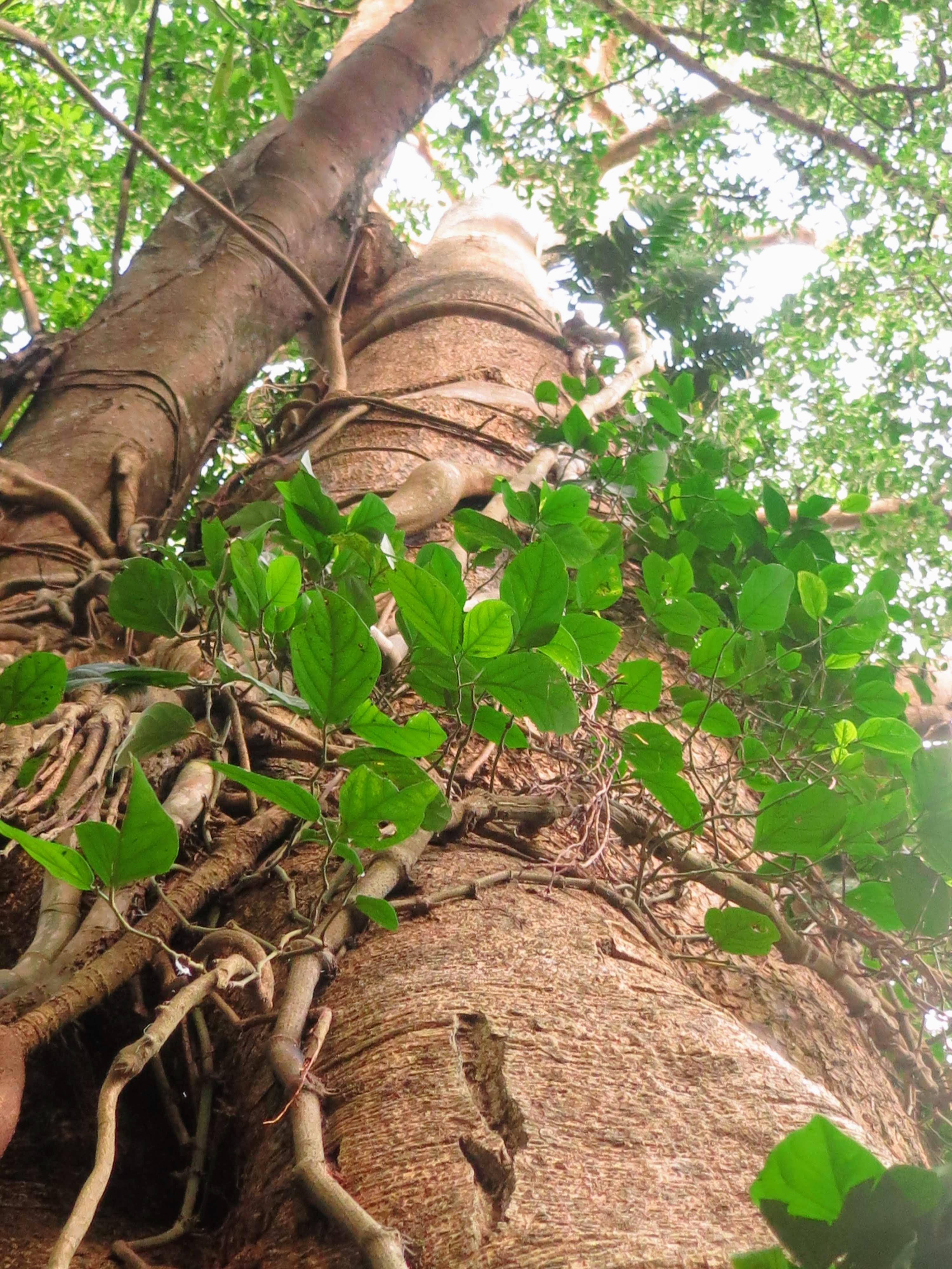 Amazontree.JPG