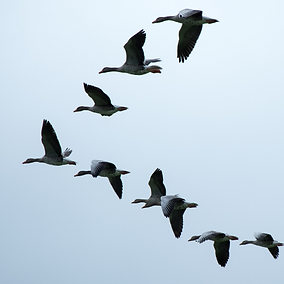geese in v formation.png