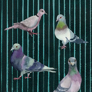 Pigeon Stripe KW-04