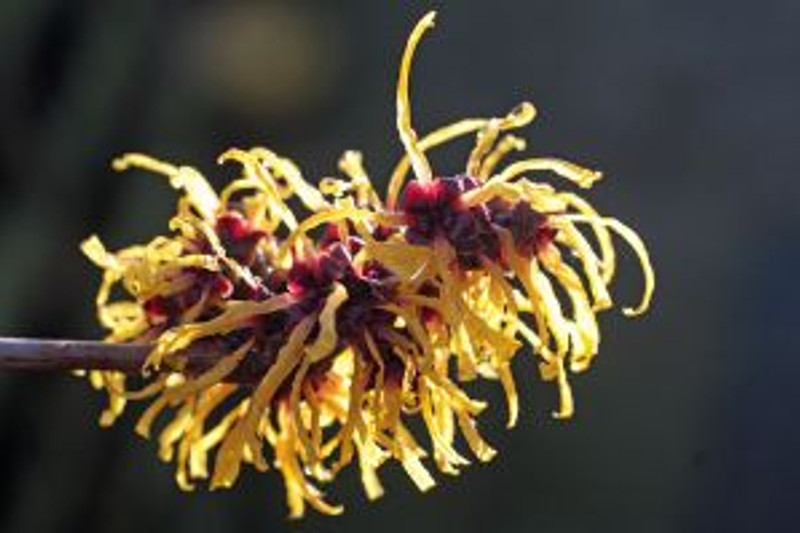 800px-Witch_Hazel_In_Flower_In_Garden_Hampshire_UK