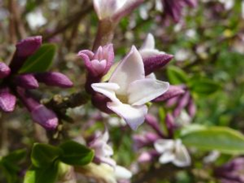 800px-Daphne_tangutica_'Tangut_Daphne'_(Thymelaeceae)_flower