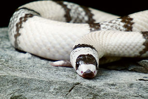 Milksnake care guide