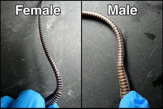 Male vs Female Dragon Snake.jpg