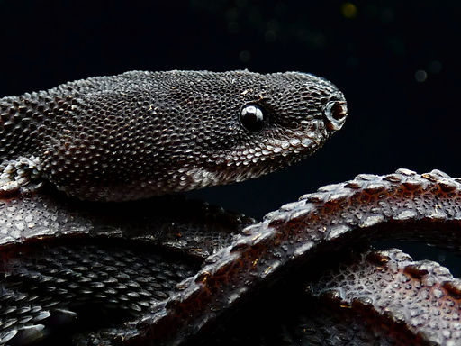 Dragon Snake Care Guide | Creatures of Nightshade