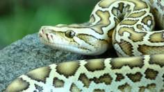 Inquisitive Burmese Python
