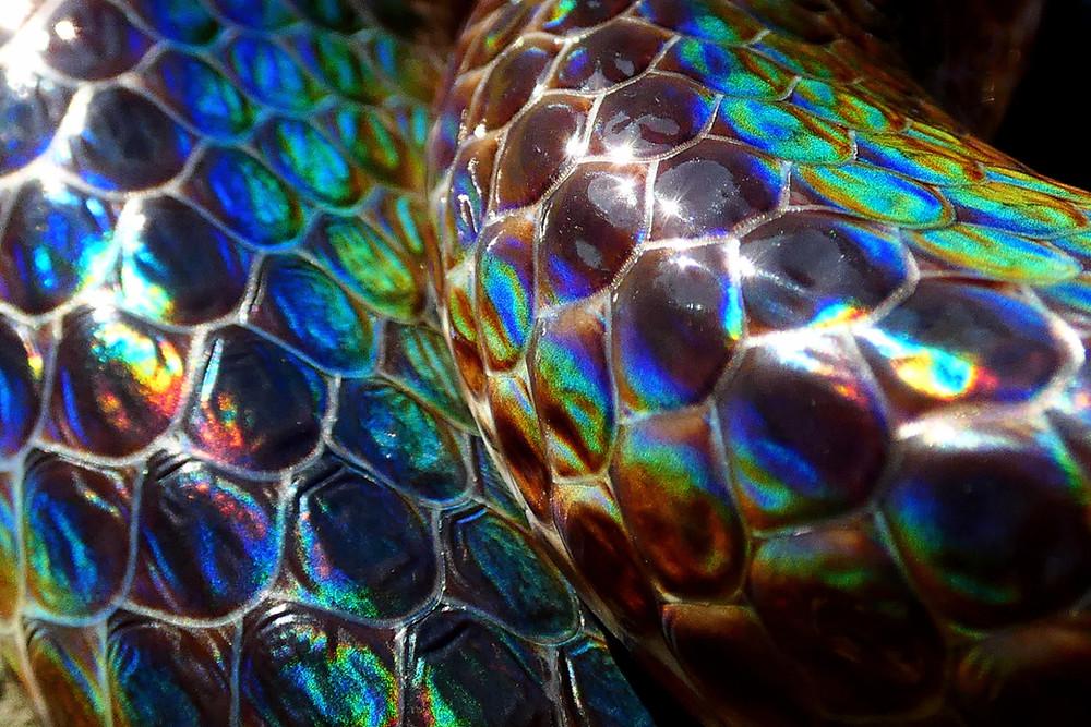 Sunbeam Snake Care Guide (Xenopeltis unicolor)