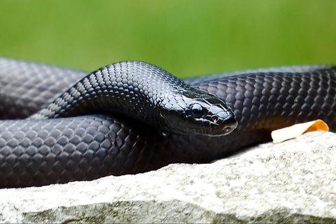 Mexican Black Kingsnake   Creatures of Nightshade