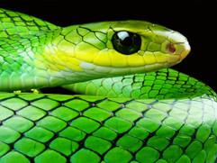 Green Ratsnake