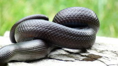 Mexican Black Kingsnake Exploring