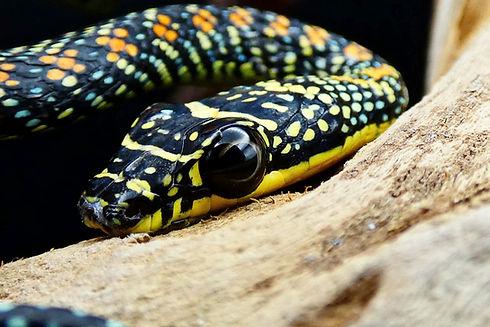 Paradise Flying Snake Chrysopelea paradisi   Creatures of Nightshade