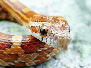 Cornsnake care guide
