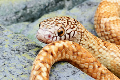 Hypo Florida Kingsnake