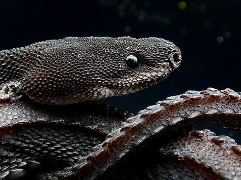 Dragon Snake Xenodermus javanicus.jpg