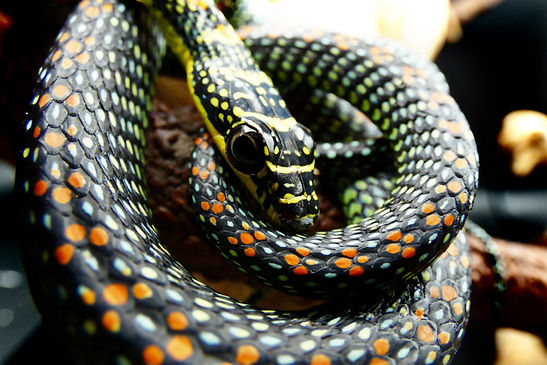 Paradise Flying Snake Care Guide | Creatures of Nightshade