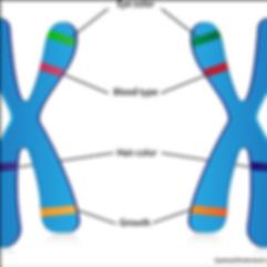 Heredity traits on chromosomes