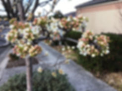 Ornamental plum blossoming in spring on creation6000.com