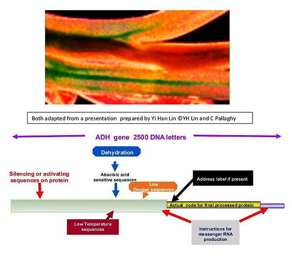 Myb promoter activity in clover vascular tissue