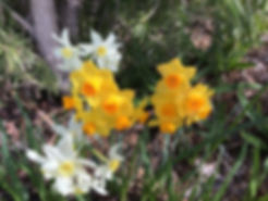 Daffodils signal that spring has arrived in Australia on creation6000.com