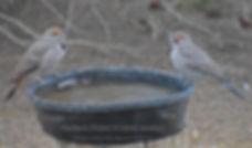 1a-Woodpeckers Northern Flicker BKYD 12-