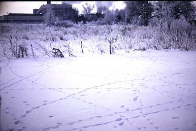 animal tracks in snow at Michigan State University 1970 on creation6000.com