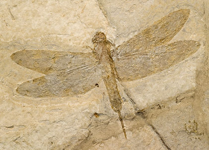 Fossilized dragonflies look modern