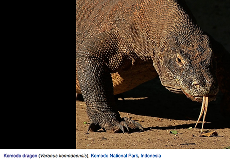 Komodo dragon.png